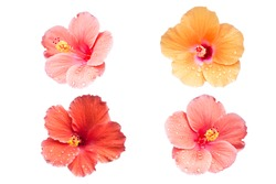 set of hibiscus flower isolate on white background with clipping path
