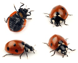 Set of isolated lady bug shots