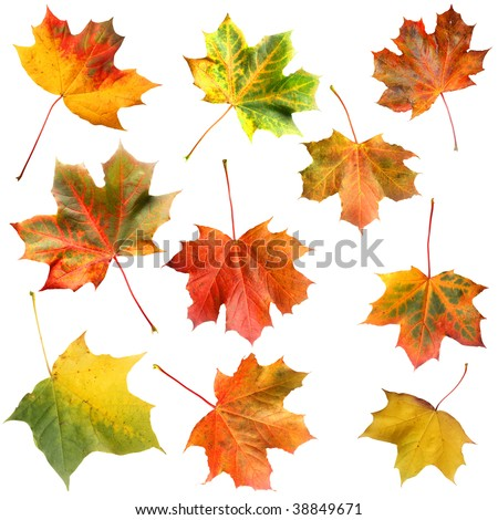 Set of isolated maple leaves