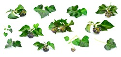 Set of ivy leaves, fruits and twigs. Fragments of hedera helix creepers isolated on a white background.