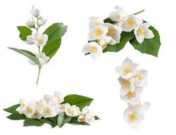 Set of jasmine flowers isolated on white background
