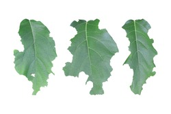 Set of leaf with holes isolated on white background. Green leaves are eaten by worms or pests. Object with clipping path.