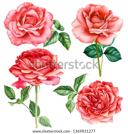 set of leaves, bud and flowers of red roses on an isolated white background, watercolor hand drawing, botanical painting