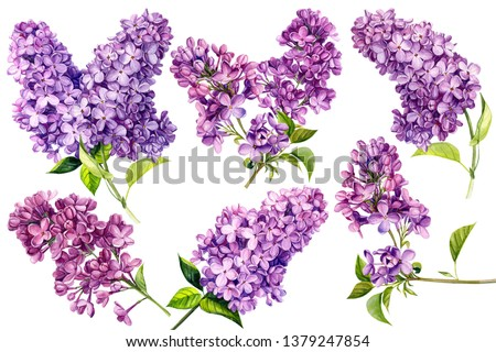 set of lilac flowers on an isolated white background, watercolor illustration, botanical painting, hand drawing