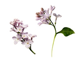 Set of lilac flowers twigs isolated on white
