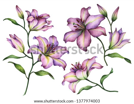 Set of lilies, hand painted floral illustration, watercolor flowers isolated on a white background.
