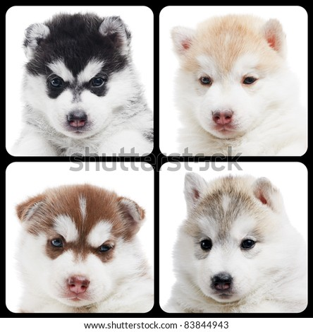 Set of little puppy portraits siberian husky dogs of one month