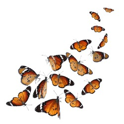 Set of many flying painted lady butterflies on white background