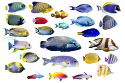 Set of Marine fish on white isolated background. Peacock, Emperor, Flame angelfish. clown fish , Firefish, Purple firefish, Butterflyfish, Sweetlips, Humphead wrasse and Threadfin snapper etc.
