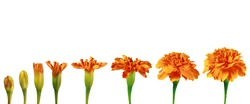 Set of orange flowers of Tagetes on white. The stages of flowering. Stages of growth and development of plants. Step by step of blooming petals. Template for botanical textbooks, reports, schools.