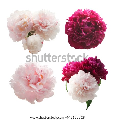 Set of peonies flower isolated on white background #442185529