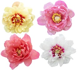 Set of peony flower heads in variety colors and shapes