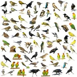 Set of 81 photographs of birds isolated on white background