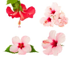 set of pink and red pink hibiscus flower isolated on white background