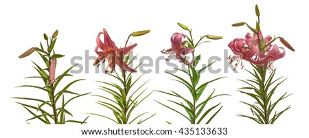 Set of  pink lilium Asian hybrids 'Rozovaja Dymka' with buds and a blossoming flower on a white background isolated Zdjęcia stock ©