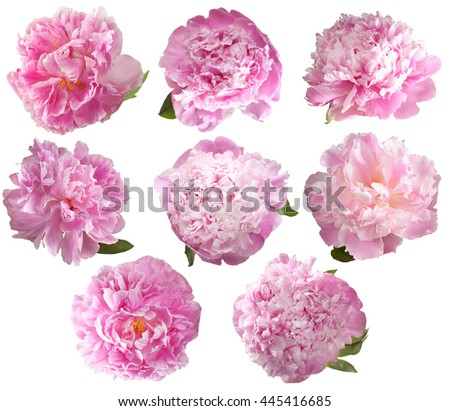 Set of 8 pink peony isolated on white background.Delicate, beautiful flowers for your design. Clip art. - Shutterstock ID 445416685