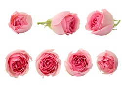 Set of pink rose flowers isolated on white