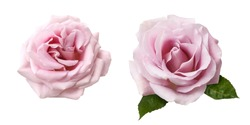 Set of pink rose flowers isolated on white background. Beautiful two Rose flowers.