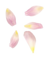 Set of pink tulip petals isolated on white. Top view.