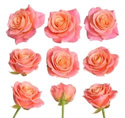 Set of Pink with orange roses. Isolated on white background.