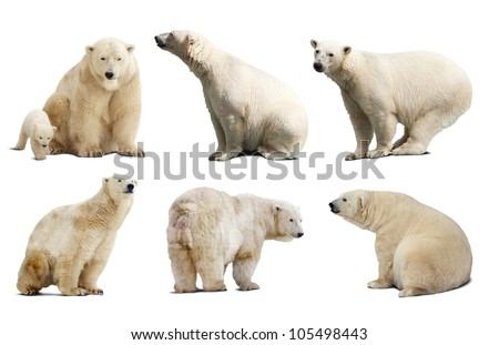 Set of polar bears. Isolated over white background with shade