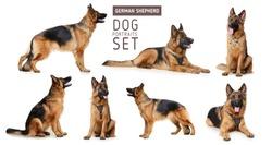 Set of Portraits of Fluffy German Shepherd Dog.