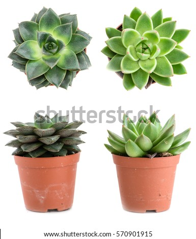 Set of pot plant Echeveria different types isolated on a white background
