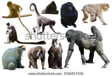 set of primates isolated on white background - Shutterstock ID 1036857436