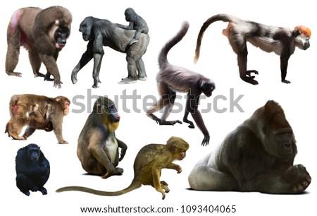 set of primates isolated on white background