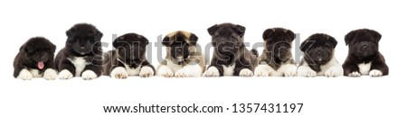 set of puppies of American Akita breed on a white background #1357431197