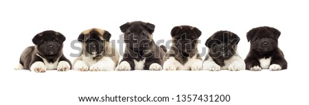 set of puppies of American Akita breed on a white background #1357431200