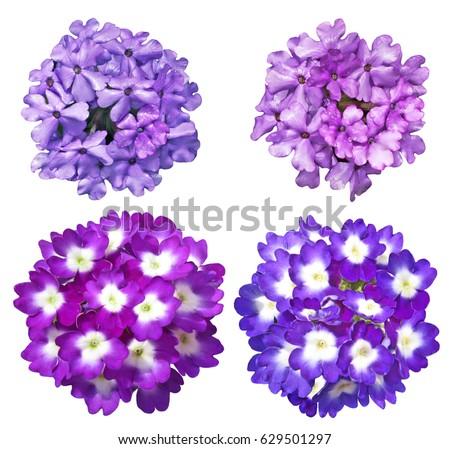 Stock Photo Set of Purple blue  Verbena Flower isolated on white background