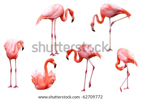 Set of red flamingo isolated on white background