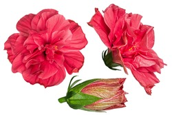 Set of red hibiscus flowers isolated on white background. Shallow depth. Soft toned. Floral summertime. Copy space.