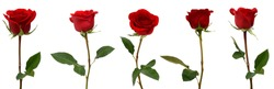 set of red rose flowers isolated