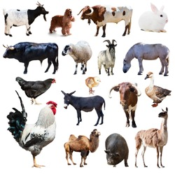 Set of rooster and other farm animals. Isolated over white background