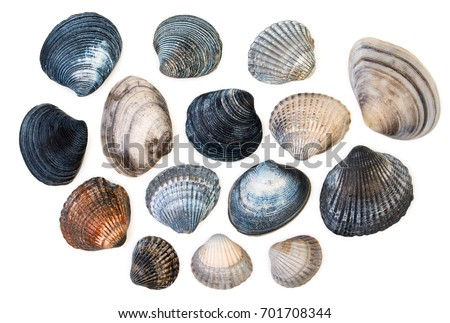 Set of sea clam mollusc shells of scallop, isolated on white background, close up, top view. Сток-фото ©