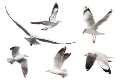 Set of seagulls flying isolated on white background