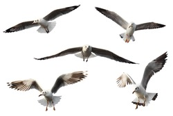 set of seagulls isolated on white background.