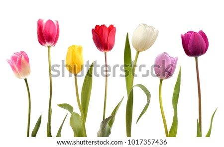 Set of seven different color tulip flowers isolated on white background
