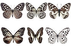 Set of six Black butterflies with white spot on wing  isolated on white background.