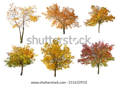 set of six golden fall trees isolated on white background