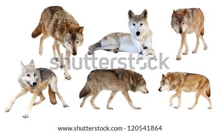 Set of six wolves. Isolated  on white background