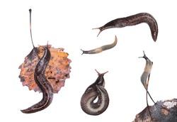 Set of slugs. Ash-black Slug (Limax cinereoniger) and Deroceras caucasicum isolated on white background