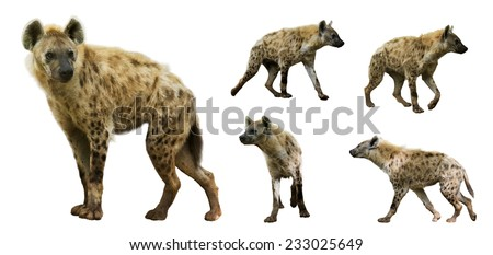 Set of spotted hyenas (Crocuta crocuta). Isolated  over white background