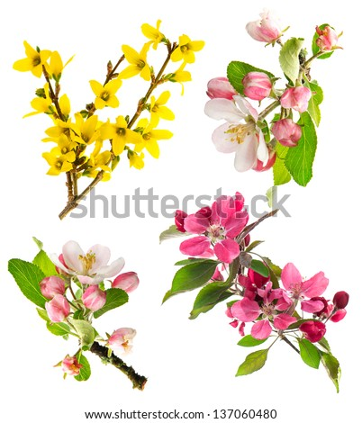 set of spring flowers isolated on white background. blossoms of apple tree, cherry twig, forsythia