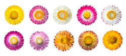 Set of Straw flower ( Helichrysum bracteatum flowers ) with isolated on White Background.