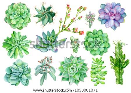 set of succulents, watercolor illustration of botanical painting, flora elements, echeveria, spurge, flower