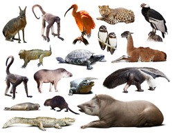 Set of  tapir, mara and other animals of South America over white background