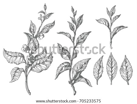 Set of tea bush branches with leaves and flowers. Botanical drawing. Sketch, hatching. Realistic. Nature. Organic product on white background